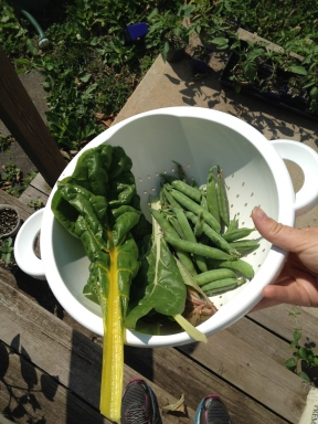 Today's harvest: English peas (green arrow) and Swiss chard.