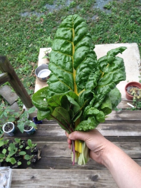 Swiss chard is the star today, but you can see some tomatoes and eggplants awaiting their turn in the wings.
